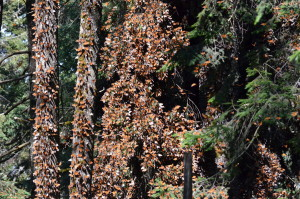 Thousands of monarchs clustered on trees