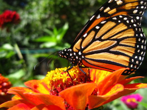 macro monarch butterfly wallpaper62986